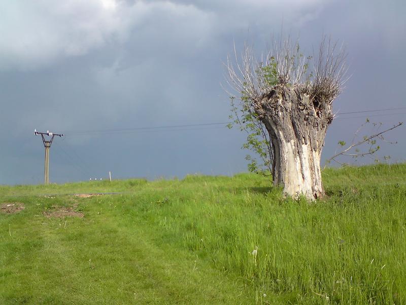Usychající vrba u Svinar