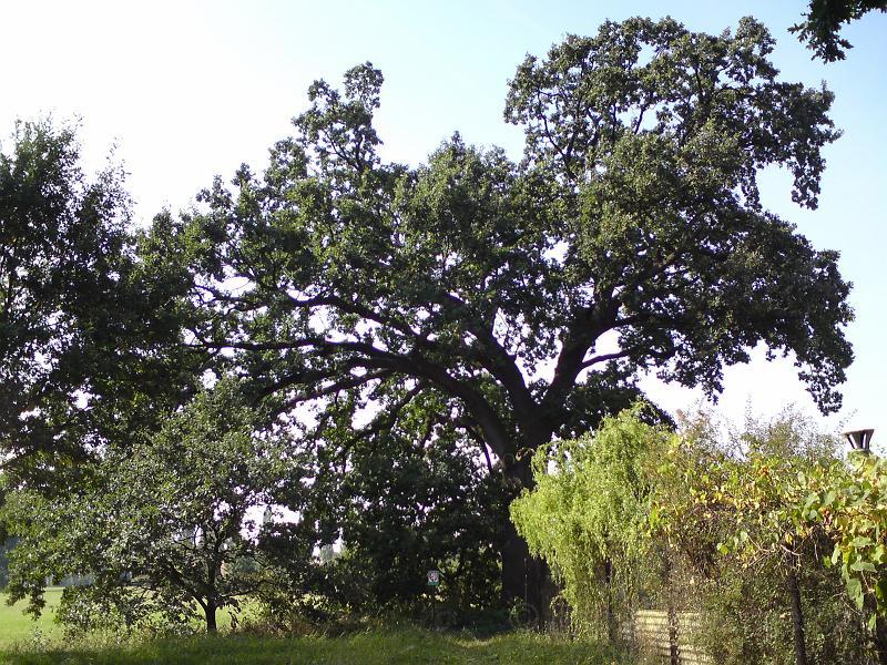 Památný dub u FN