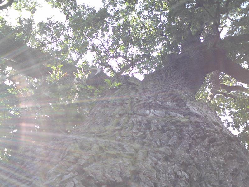 Slunce v koruně dubu
