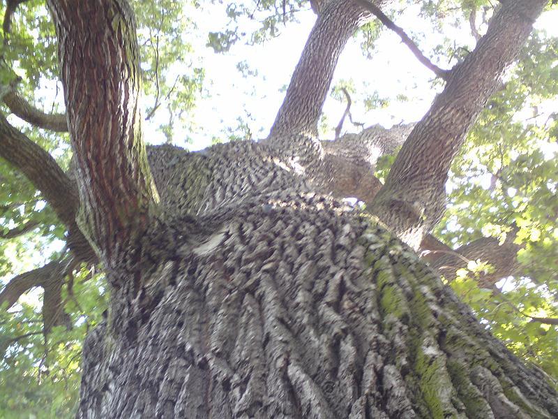 Koruna památného dubu