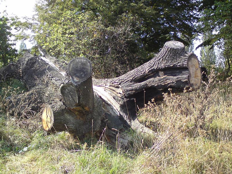 Poražený památný dub