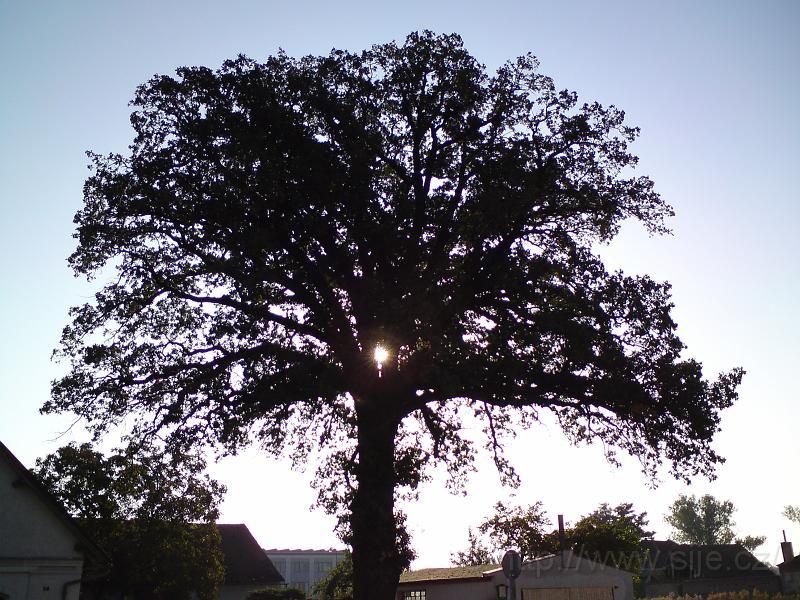 Slunce v památném dubu