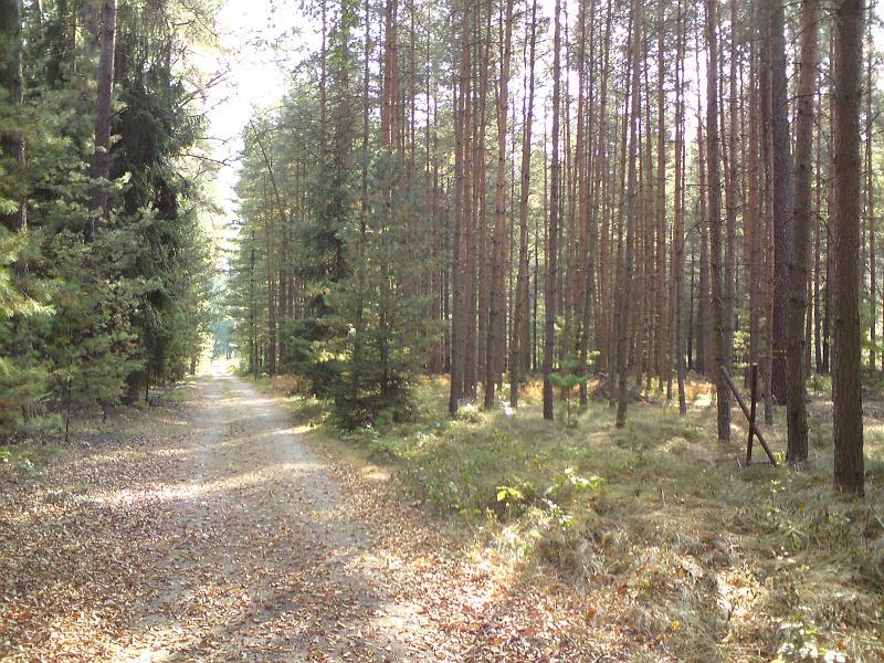 Cesta k památné borovici