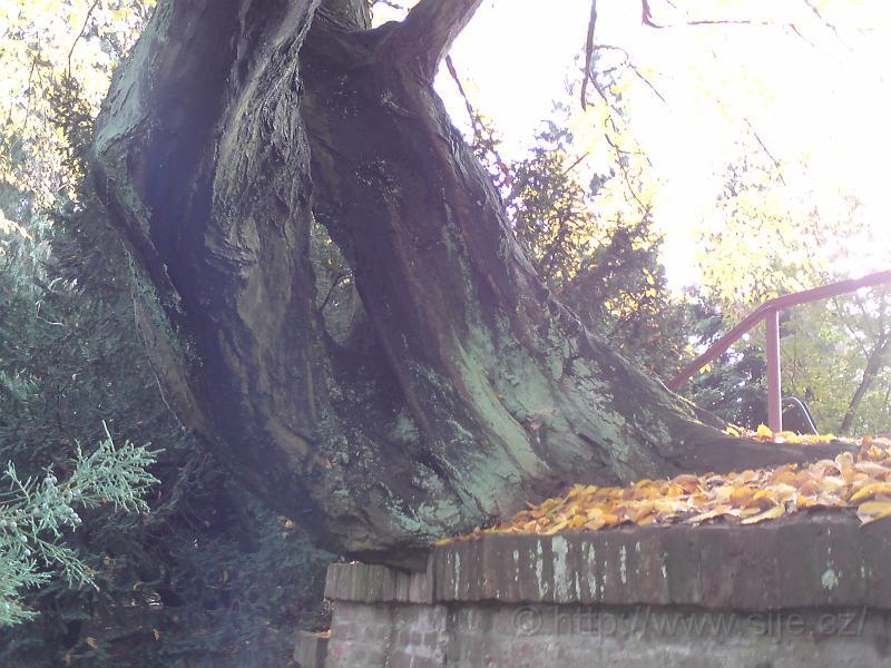 Kořeny nad poternou