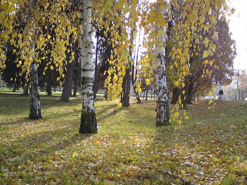Podzimní břízy