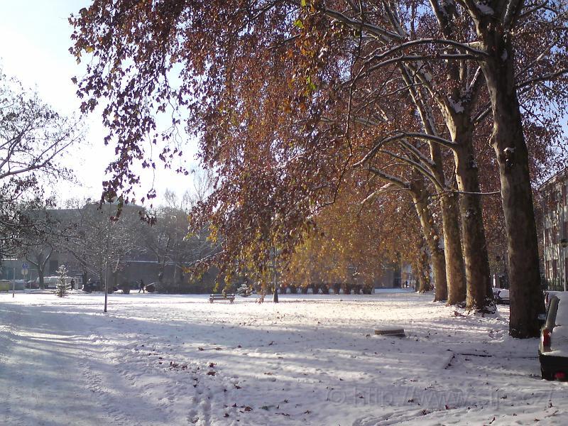 Platany v zimě