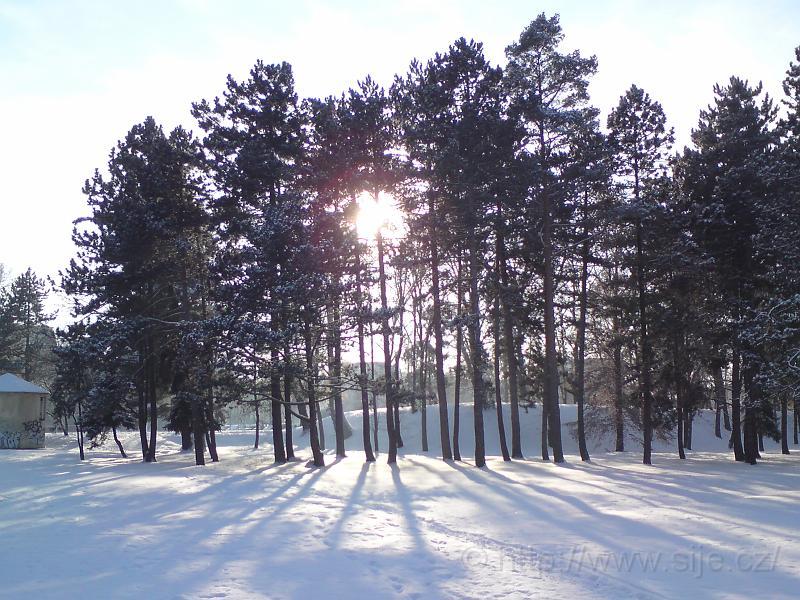 Slunce za borovicemi