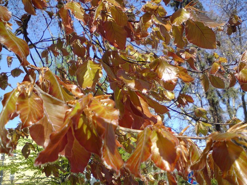 Mladé bukové listí