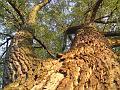 Pohleďme vzhůru do koruny stromu