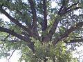 Koruna památného dubu v Kociánovicích