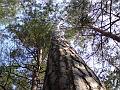Borovice v lese, Malšovice
