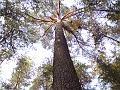 Památná borovice, Městské lesy