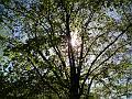 Slunce v koruně stromu, Sukovy sady