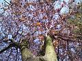 Jarní pohled do koruny je podobný tomu na podzim