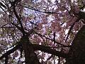 Pohled do koruny rozkvetlé třešně v Jiráskových sadech